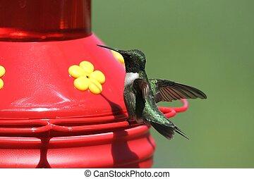 Hummingbird on feeder - hummer landing on feeder