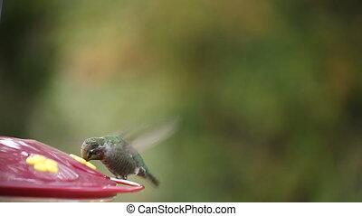 hummingbird pauses