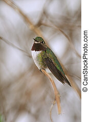 Hummingbird Perched a small tree branch