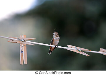 Hummingbird Perched on Clothesline