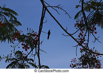 Hummingbird perched silhouetted