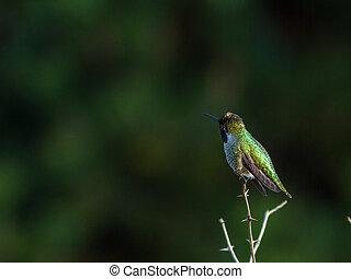 Hummingbird perches atop small branch