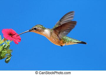 hummingbird, ruby-throated, colubris), samica, (archilochus