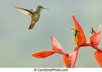 Hummingbird Rufous Tailed - Rufous tailed hummingbird ...