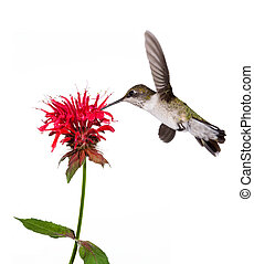 ruby throated hummingbird sips the nectar of a red bee balm flower; white background