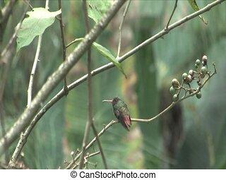 Hummingbird sitting in the Cloud forest, Peru, South America