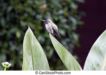 hummingbird sitting on large green leaf profile
