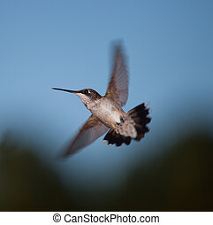 Hummingbird that is making a turn in mid air