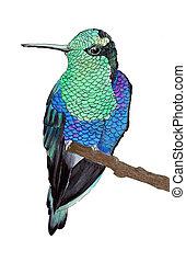 Hummingbird, watercolor illustration - Hummingbird....