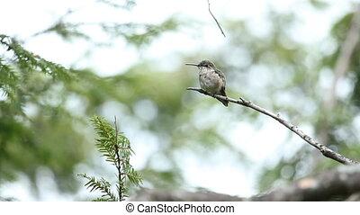 hummingbird, wild.