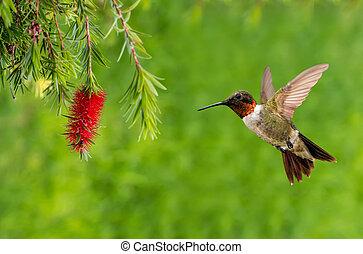 Hummingbird with beautiful tropical Bottlebrush flower - ...