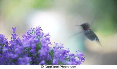 hummingbird with bellflowers - hummingbird feeds in...