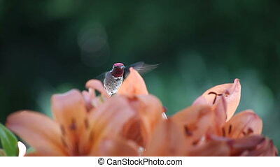 hummingbird with sunlit wings - ruby-throated hummingbird...
