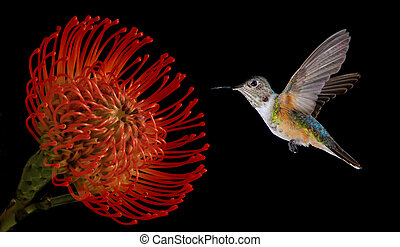Hummingbird with Tropical Flower on Black Background