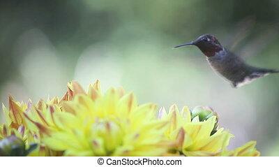 hummingbird with yellow dahlias - ruby-throated hummingbird...
