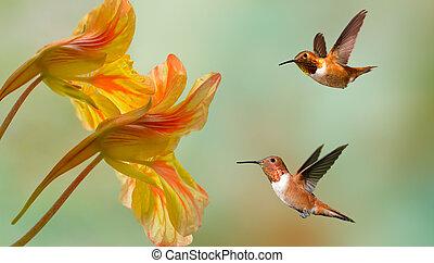 Hummingbirds (archilochus colubris) in flight with tropical flowers