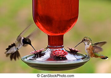 Hummingbirds at feeder - A black-chinned and juvenile rufous...