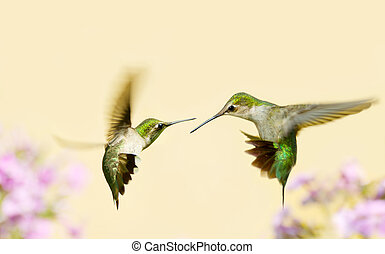 hummingbirds fighting. - Ruby throated hummingbird juvenile...