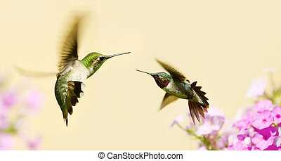 Hummingbirds fighting. - Colorful close up image of a...