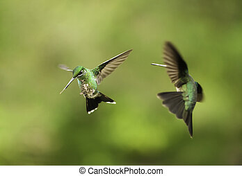 hummingbirds, luta