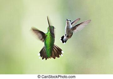 Hummingbirds mating dance