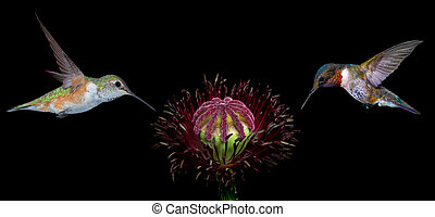 Hummingbirds on Black Background