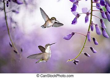 Hummingbirds over background of purple wisteria - Delicate ...