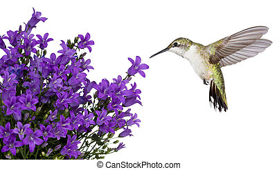 hummingbird hovers of a purple campanula get mee, white background