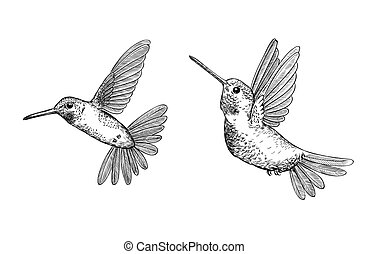 Hummingbirds vector drawing
