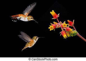 Hummingbirds with orange flower on Black Background