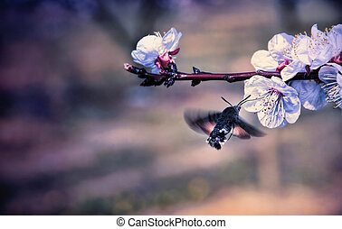 Hummingbird Hawk-moth pollinate a flower of cherry tree