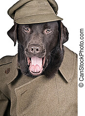 Humour Shot of a Chocolate Labrador Dressed in Historic Army Coat and Hat. Sgt Boo Shouting his Orders!