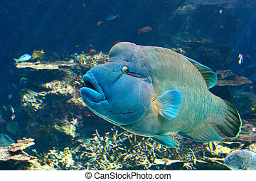 Hump-Headed Maori Wrasse, aka the Napoleon Fish, swims in Okinawa's Churaumi Aquarium.
