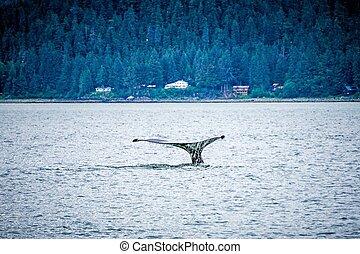 humpack whale hunting on mud bay alaska