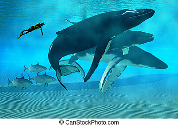 Humpback Dive - A diver swims with a pod of Humpback whales ...
