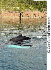 humpback, natação