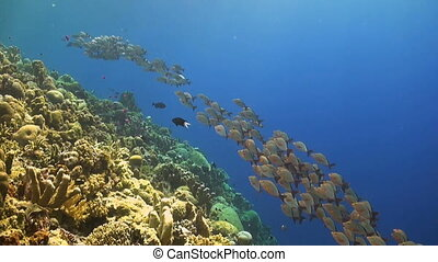Humpback red snapper on a coral reef