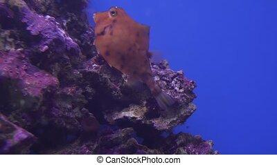 Humpback Turretfish in marine aquarium stock footage video -...