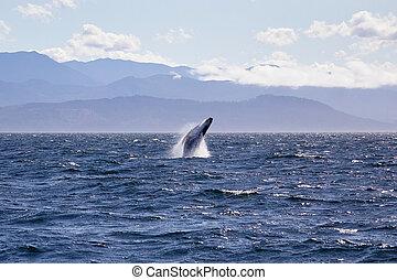 Humpback whale breaching off the coast of Victoria British Columbia, Canada.