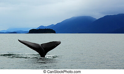 humpback whale diving in alaska with tail showing against...