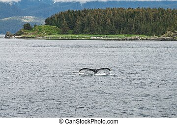 Humpback whale diving in front of the trees