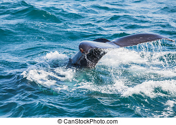 Humpback whale diving, tail out of the sea