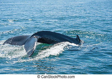 Humpback whale fin - Tail fin of the mighty humpback whale (...