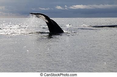 humpback whale (lat. Megaptera novaeangliae) Commander...