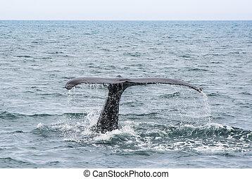 Humpback Whale tail. Megaptera novaeangliae