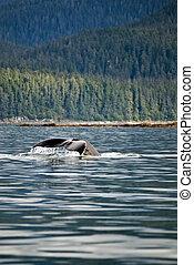 Whale watching adventure from Juneau Alaska / Marine life / Humpback whale tail