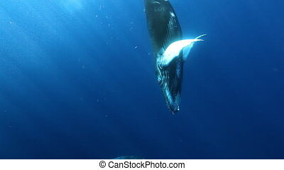 Humpback whales closeup underwater on background of sun rays in blue ocean.