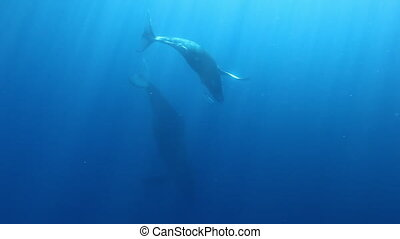 Humpback whales mother and young calf near divers on...