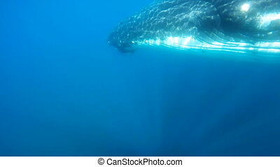 Humpback Whales under water