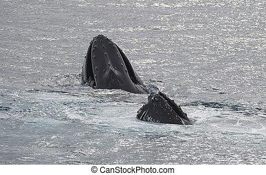 humpback wieloryb, żywieniowy, krill